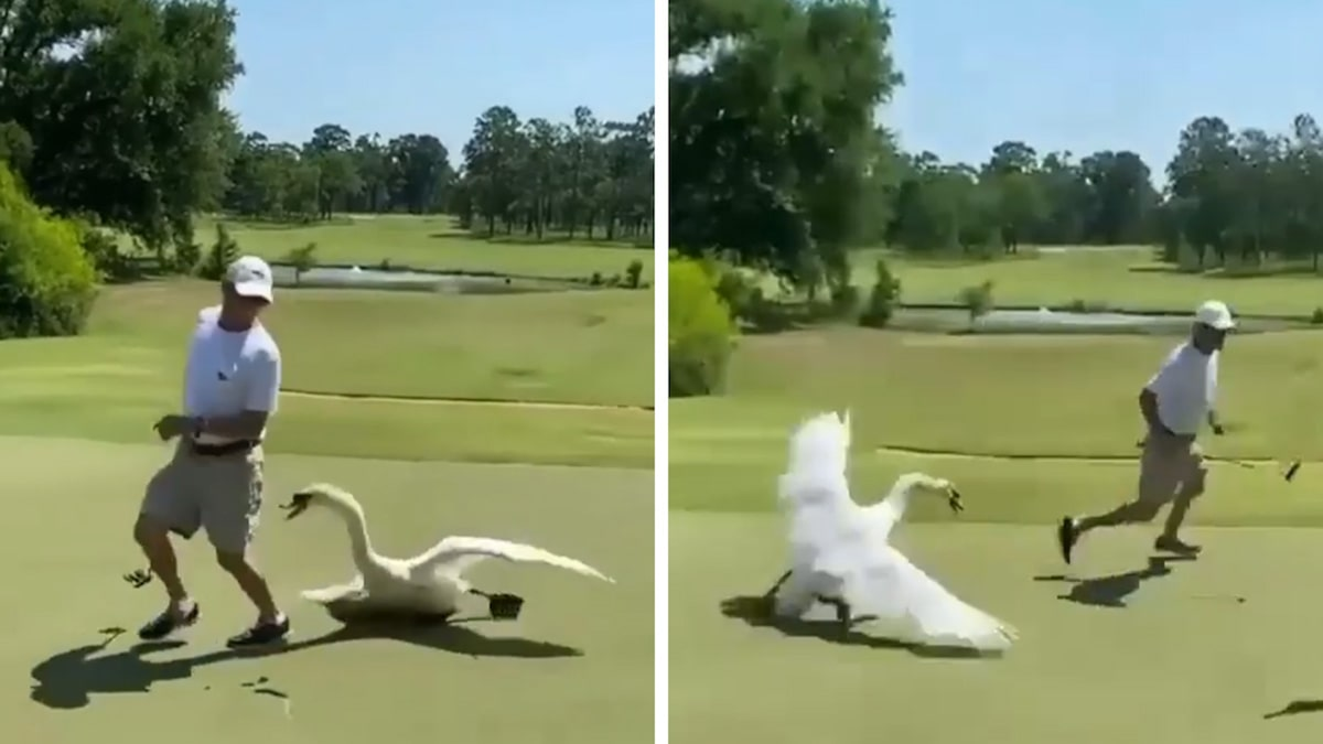 Georgia Golfer Attacked By Big-Ass Swan On Course, Wild Video!