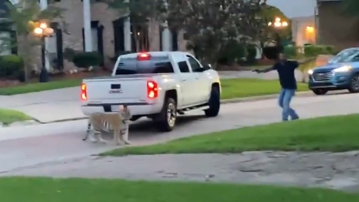 Tiger on the Loose in Houston Nearly Shot by Neighbor
