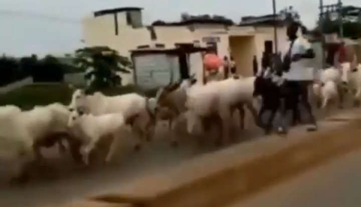 Epe Youths Chase Herdsmen And Their Cows Out Of Their Town