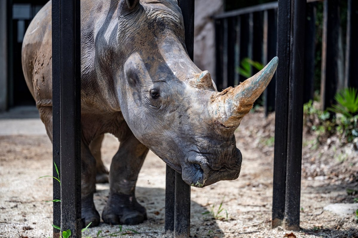 A small rhinoceros traveled to Japan to find love