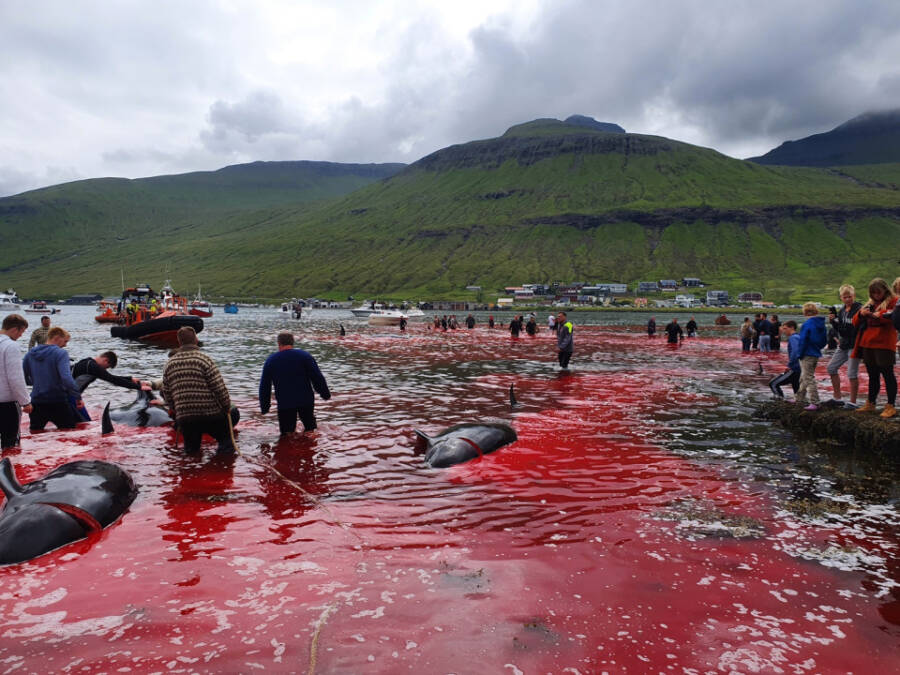 Killing 1400 dolphins in a single day in the Faroe Islands sparks revolt
